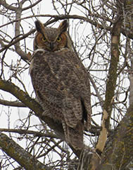 A great horned owl in the wild