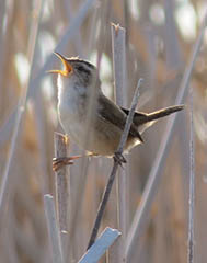 A marsh wren in the wild. Photo by Conner Maloney.
